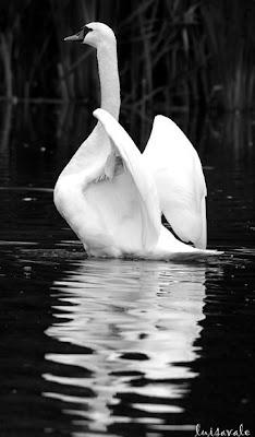 Cisne em Cascais (Portugal)