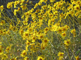 Brittlebush display