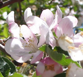 Apple tree blossoms in the old abandoned apple orchard