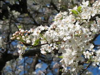 Blooming Tree Branch