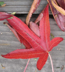 Fall Color Leaf (red)