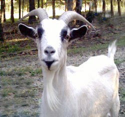 goatlady's goat, Bubba Rest in Peace Bubba Nov 25 2009