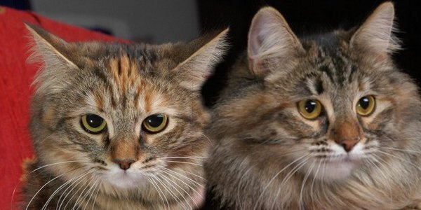 Katyenka Siberian Cats