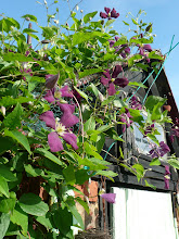 Clematis against an azure blue sky