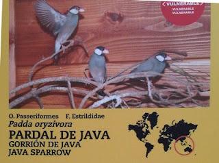 Pardal de Java