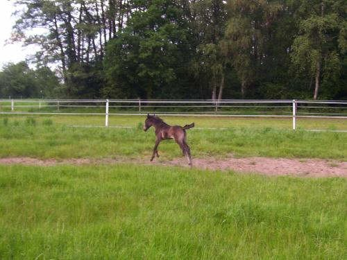 Lilly as a foal
