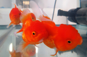 Our Family Pets - Meet the Goldfish