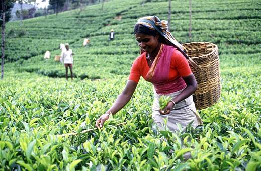 tea plantation sector in sri lanka economics essay Food & agriculture sector in economic development 3 improved nevertheless, there are many unresolved problems exist in the context of food and agriculture sector in sri lanka.