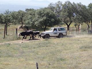 El ganadero Manolo Valenzuela manejando al ganado desde el coche,a sus 74 años
