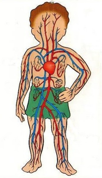 El dibujo para colorear del aparato circulatorio de una plata - Imagui