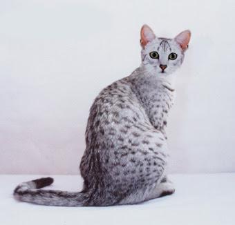 kemudian di kawinkan lagi dengan kucing mesir egyptian