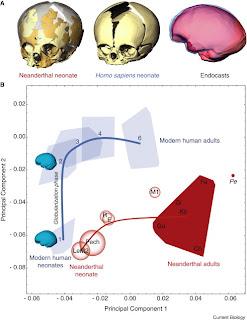 Dienekes Anthropology Blog Brain Development In Modern