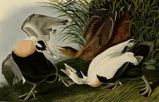 [Audubon painting of Common Eider]