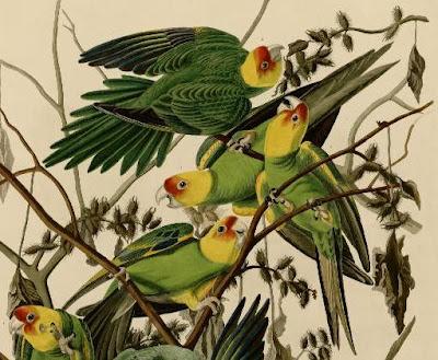 [Detail of Carolina Parakeet drawing by Audubon]
