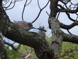 [Tern fledgling at Ducie Island]