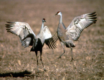 [Sandhill cranes, courtesy photo]
