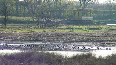 [Franklin's gulls at Shoemaker Marsh]