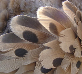 [Detail of Mourning Dove plumage.]