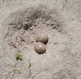 [Least Tern nest on the Niobrara River]