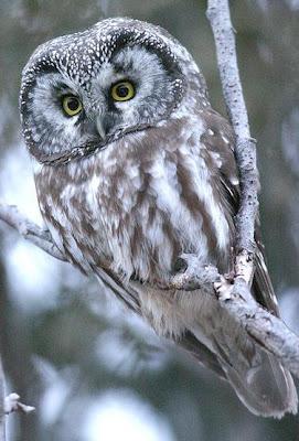 [Boreal Owl, image courtesy of Wikipedia]
