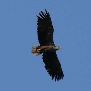 [White-tailed Eagle]