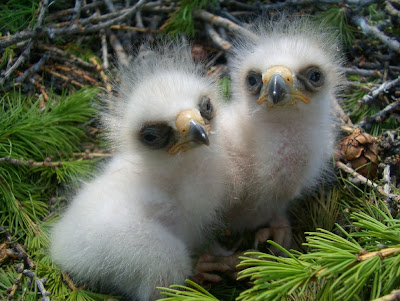 [Booted Eagle chicks]