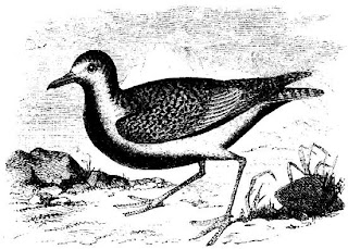 [Black-bellied plover]