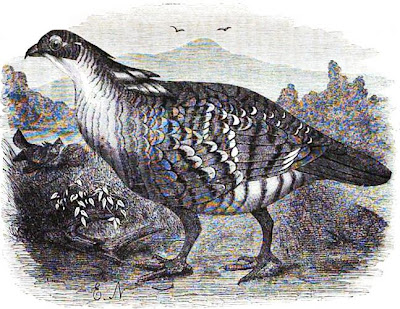 [pinnated grouse, 1864 rendition]