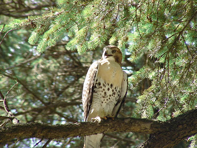 [Fledgling Red-tailed Hawk, Elmwood Park, 2008]