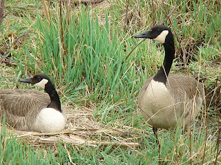 [Pair of Canada Geese]