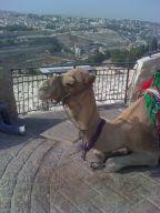 גמל בבית עלמין הר הזיתים בירושלים