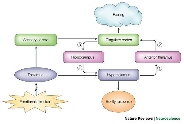 Circuito De Papez : Neurologia em foco circuito de papez e o lobo límbico