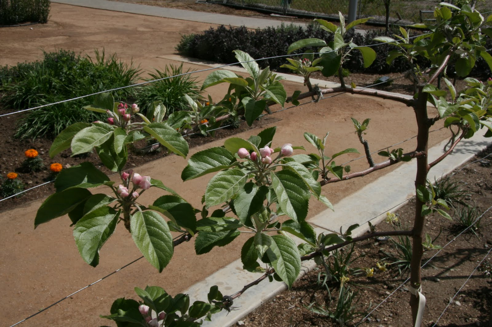 Apple Tree Trellis Spring Update 171 Uc Davis Good Life Garden