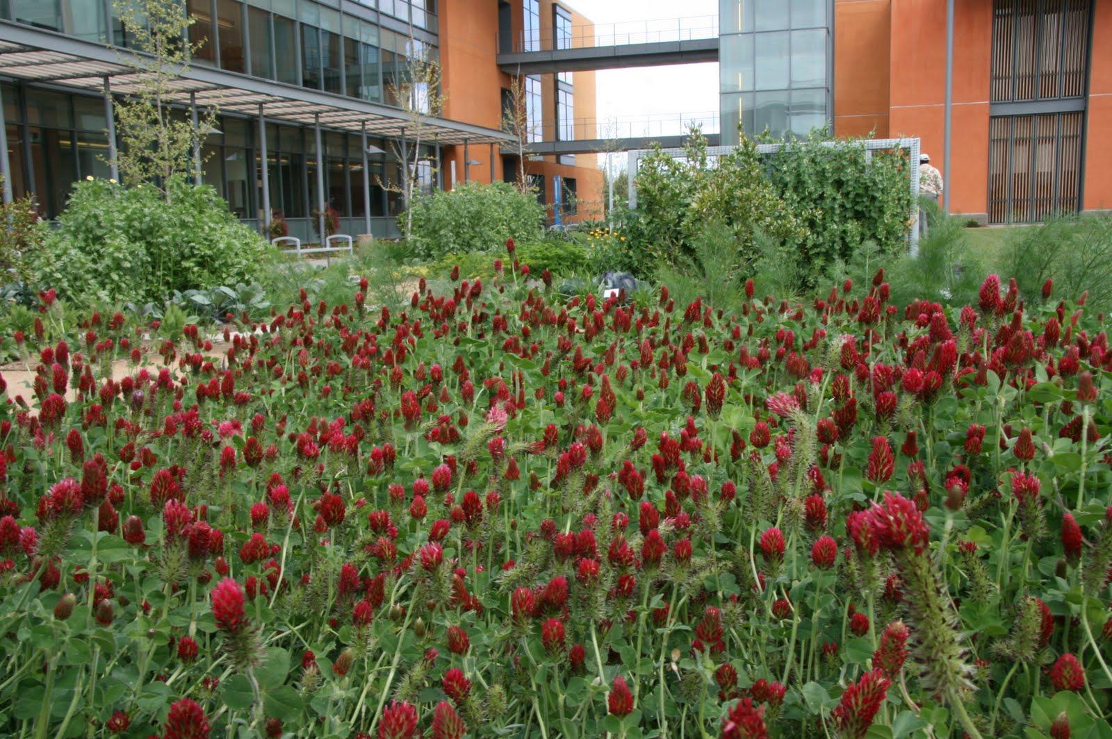 cover crops « UC Davis Good Life Garden