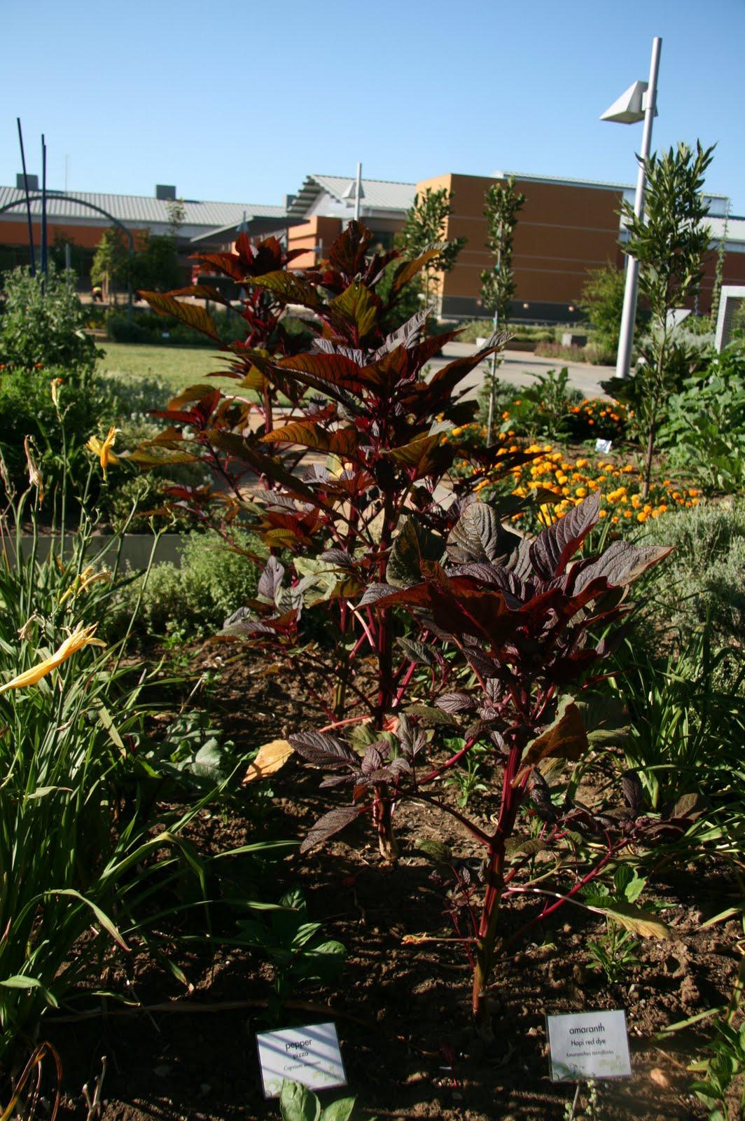amaranth « UC Davis Good Life Garden