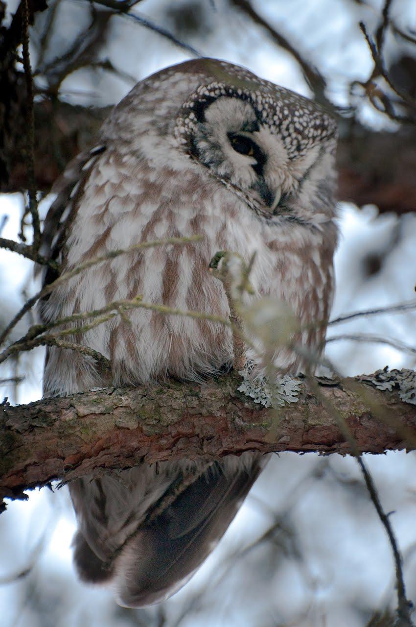 [1-Boreal+Owl.jpg]