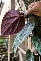Red Piper leaf