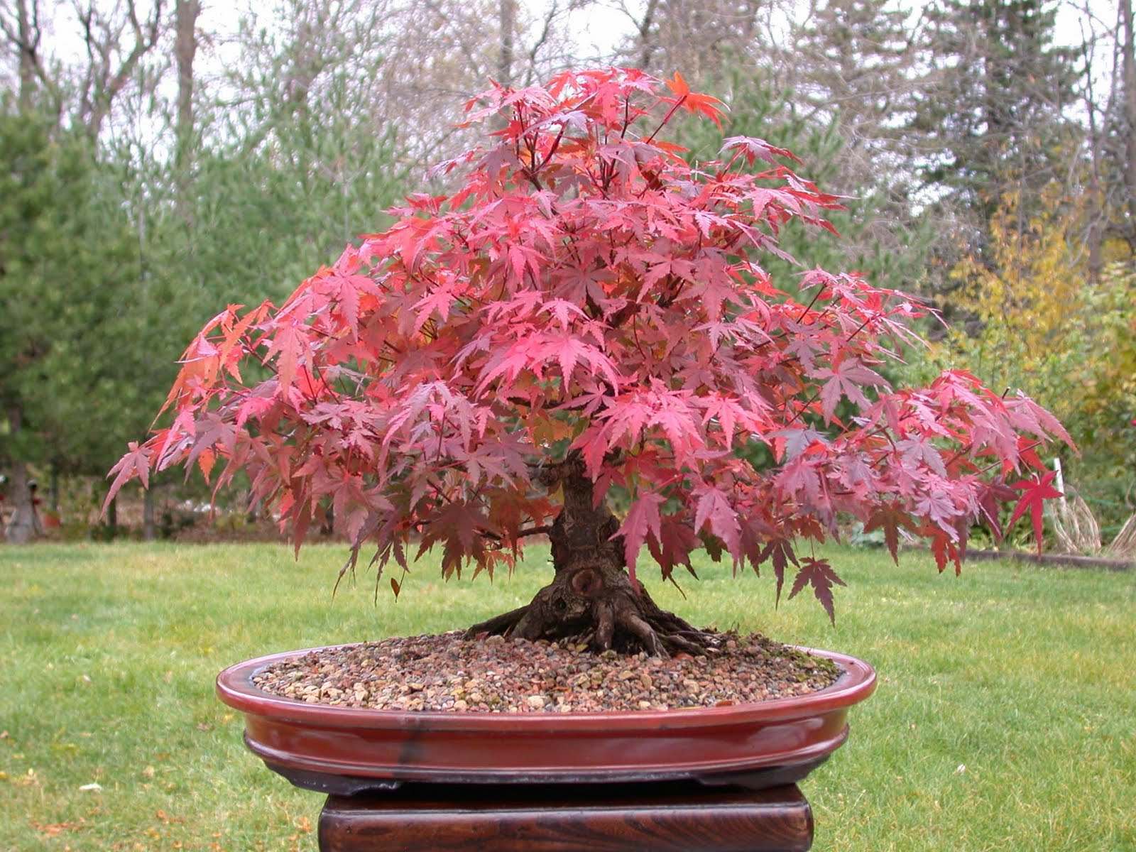 Acer Sp Maple Bonsai