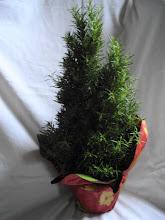 Rosemary Tree