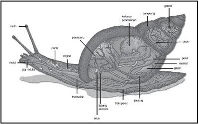Gastropoda Bernafas Menggunakan