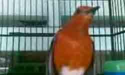 Blog Sohib Berbagi: Ciri-ciri Burung Anis Merah Yang Ba