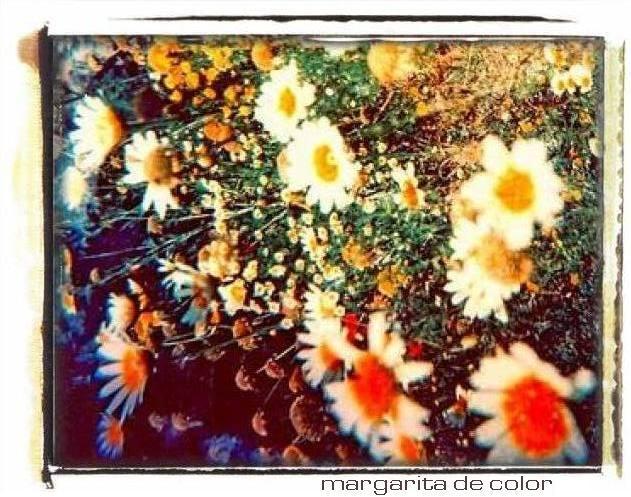 Margaritas de Colores