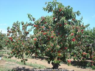 Rainier cherries tree images galleries with a bite - Romanian cherry tree varieties ...