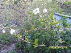 Kukkikoon kirsikat valkoisina kuten Suomikin