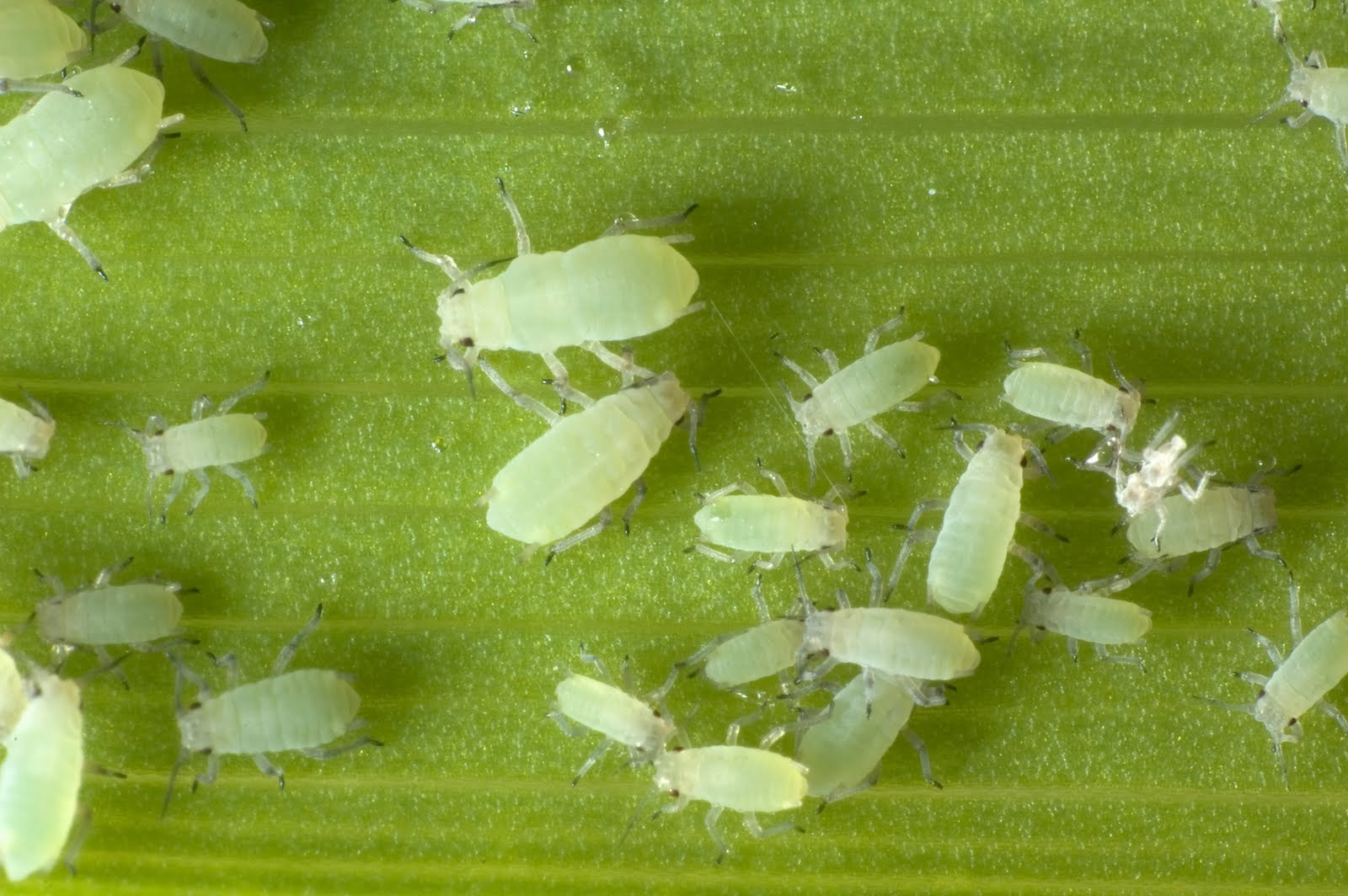 How To Get Rid Of Root Aphids Naturally