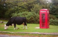 Cow and Telephone in Dartmoor, England