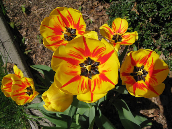 Tulips In My Yard