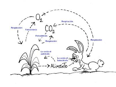 BIOLOGIA MORENO: Fotosíntesis y respiración: procesos complementarios