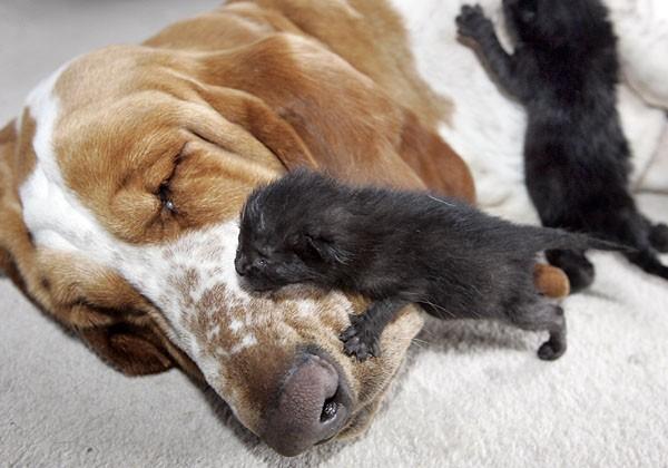 L 39 rca di rita bassethound allatta cucciolata di gattini for I gattini piccoli