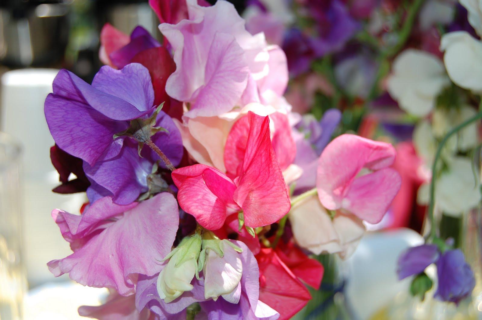 Sweet Pea Flowers Nature & Flowers